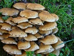Krumskllet sklhat (Pholiota squarrosa)